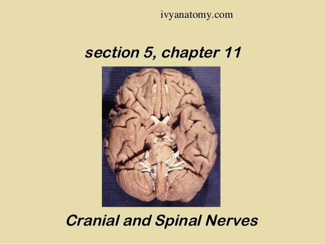 ivyanatomy.com  section 5, chapter 11  Cranial and Spinal Nerves