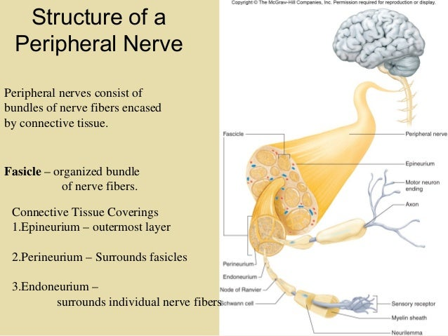 Section 5 Chapter 11 Cranial Nerves And Spinal Nerves