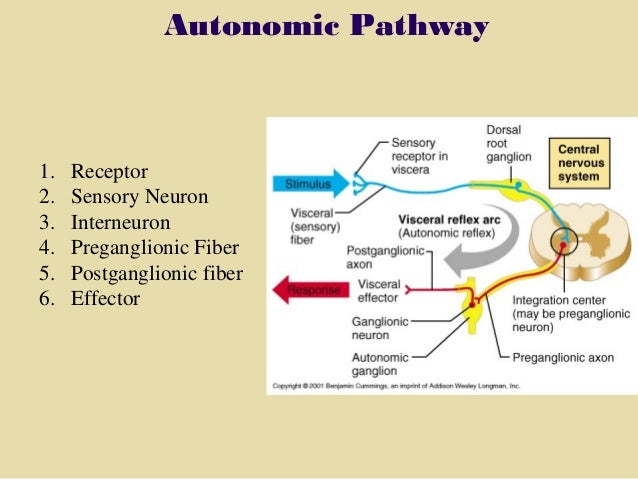 section 6, chapter 11 autonomic nervous system