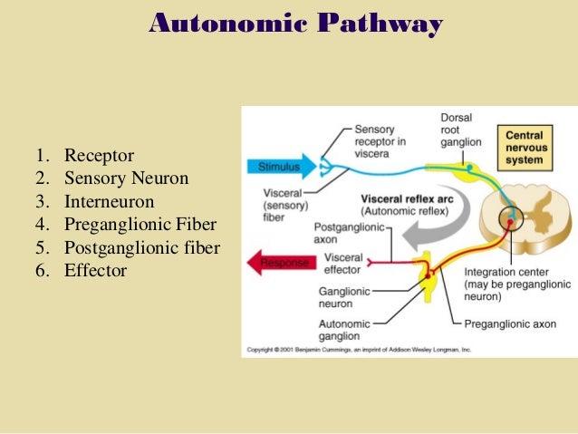 section 6, chapter 11 autonomic nervous system