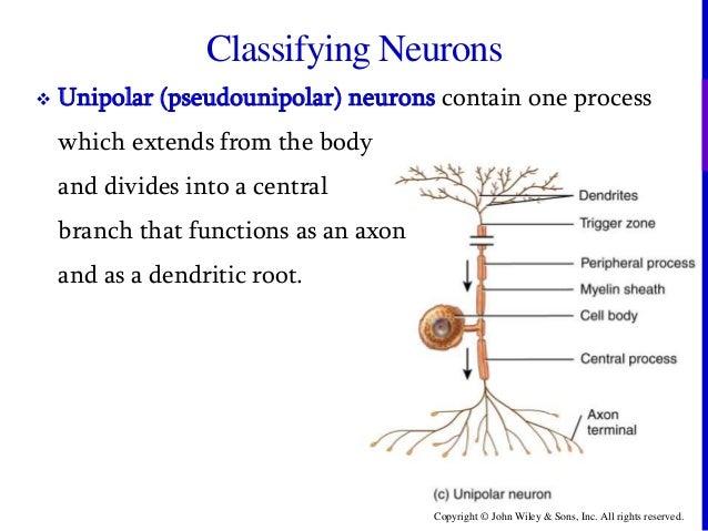 Unipolar Neuron Vs Pseudounipolar | www.pixshark.com ...