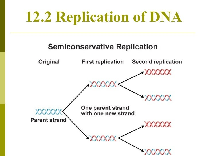 Chapter 12.2 dna replication