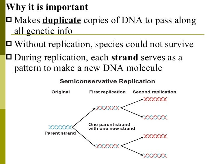what is dna replication and why is it important