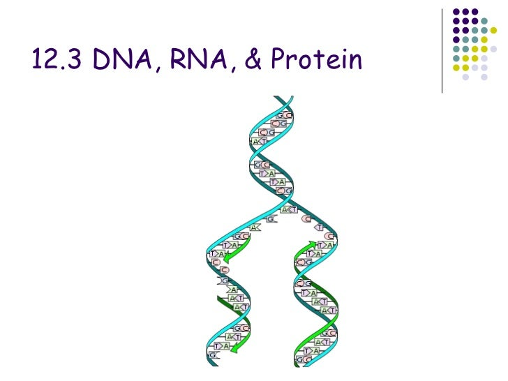 Chapter 12.3 dna,rna and protein