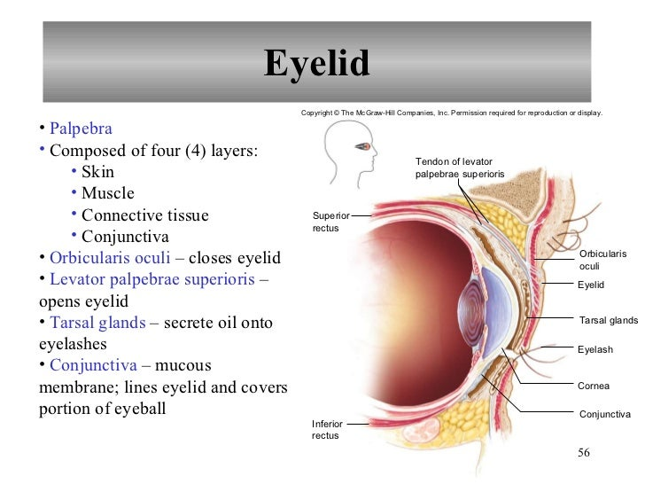 Diagram of eye tarsal glands application wiring diagram chapter 12 nervous system iii senses rh slideshare net clogged eye glands meibomian gland dysfunction treatment ccuart Images