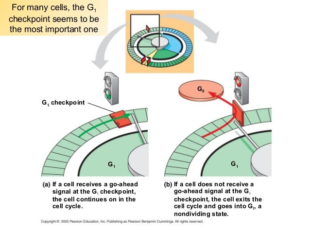 Chapter 12: Cell Cycle