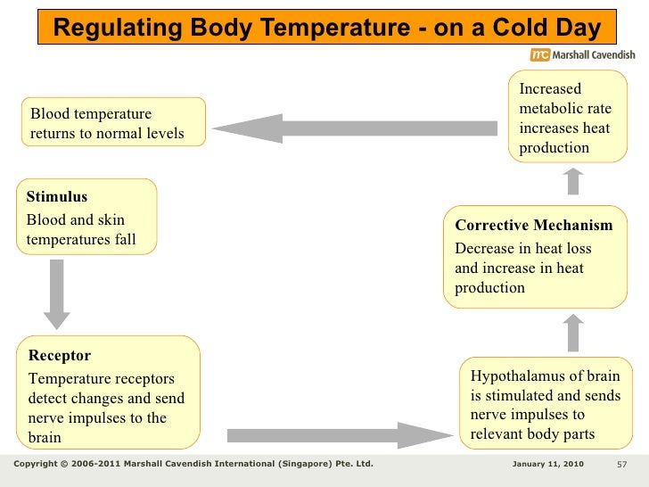 Normal body temperature diagram product wiring diagrams chapter 12 homeostasis rh slideshare net normal body temperature diagram process diagram of body temperature feedback ccuart Images