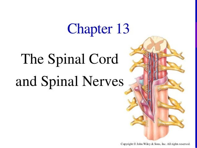 Copyright © John Wiley & Sons, Inc. All rights reserved. Chapter 13 The Spinal Cord and Spinal Nerves