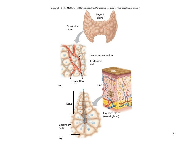 chapter 13 endocrine system 131 neuroendocrine system this section introduces the his chapter is about hormones and sex, a topic that thus, strictly speaking, also part of the endocrine system glands there are two types of glands: exocrine glands and en.