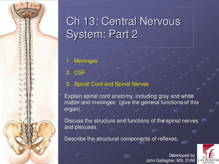 Ch 13: Central NervousSystem: Part 21. Meninges2. CSF3. Spinal Cord and Spinal NervesExplain spinal cord anatomy, includin...