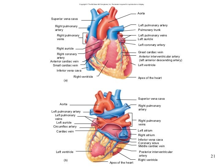 Chapter 15 Cardiovascular System
