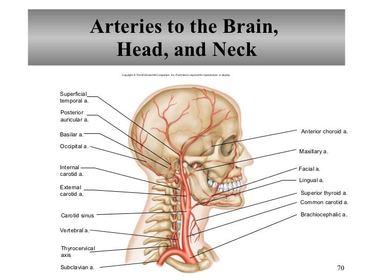 Circulatory System Head Diagram Online Schematic Diagram