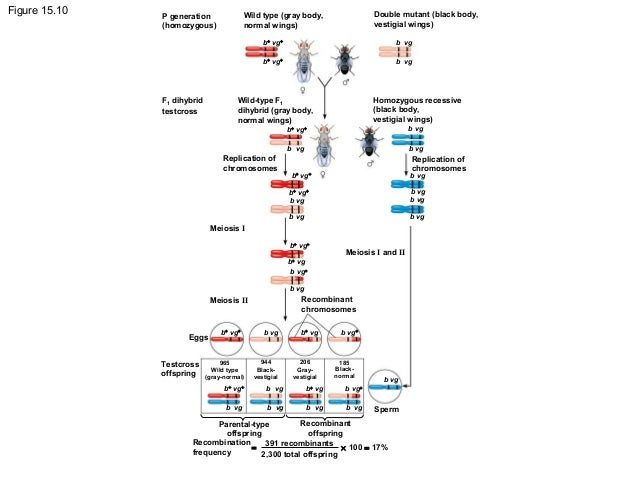 Chapter 15 Chromosomal Basis Of Inheritance