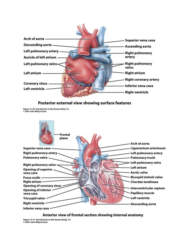 Chapter 15 Cardiovascular System Heart Notes