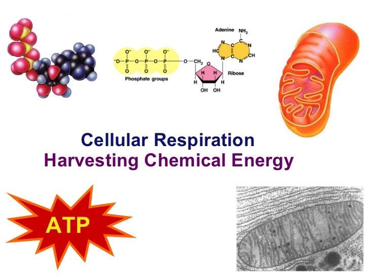 Cellular Respiration Harvesting Chemical Energy 2006-2007 ATP