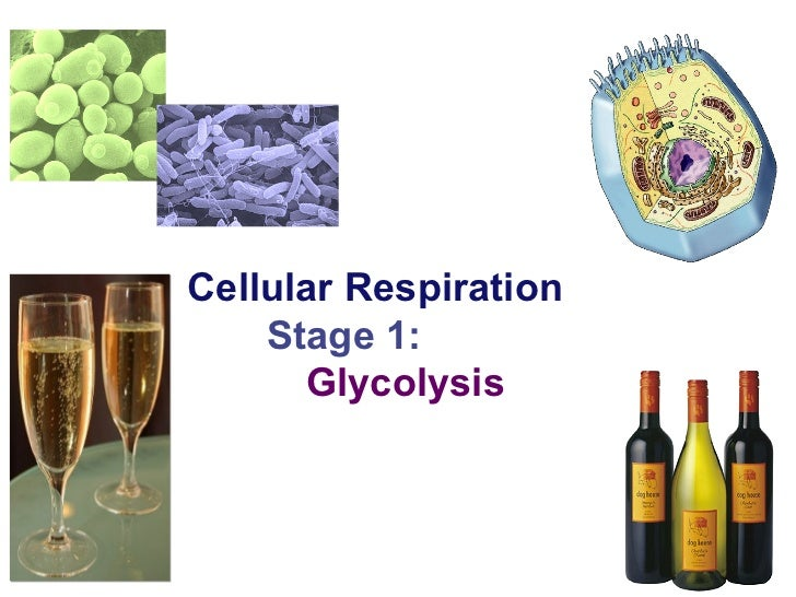 2007-2008 Cellular Respiration Stage 1: Glycolysis