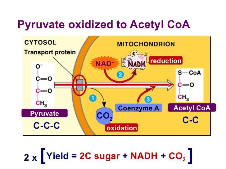pyruvate oxidation