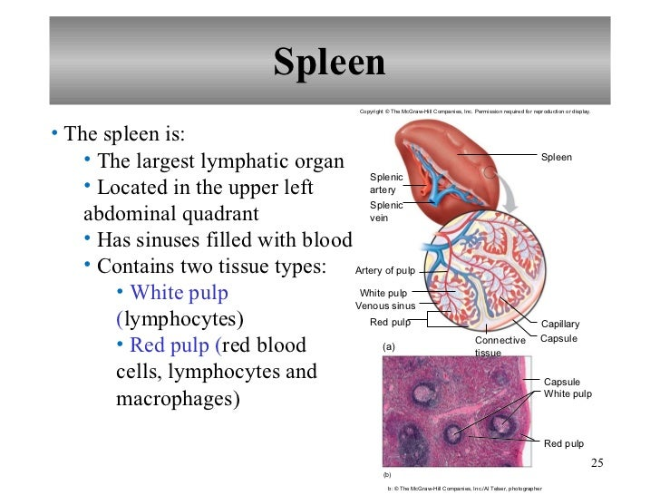Spleen Lymphatic System Diagram - Block And Schematic Diagrams •