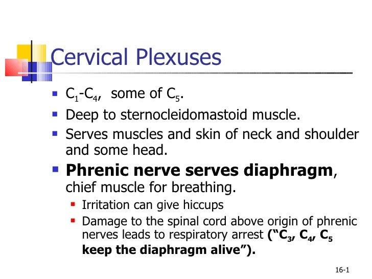 Cervical Plexuses <ul><li>C 1 -C 4 ,  some of C 5 . </li></ul><ul><li>Deep to sternocleidomastoid muscle. </li></ul><ul><l...