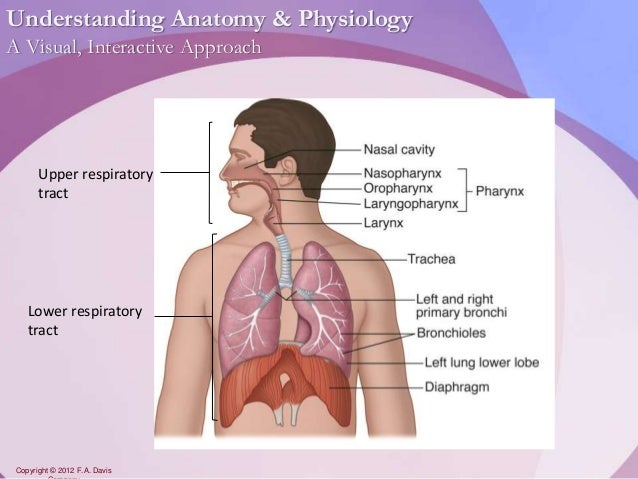 Chapter17 - Respiratory System