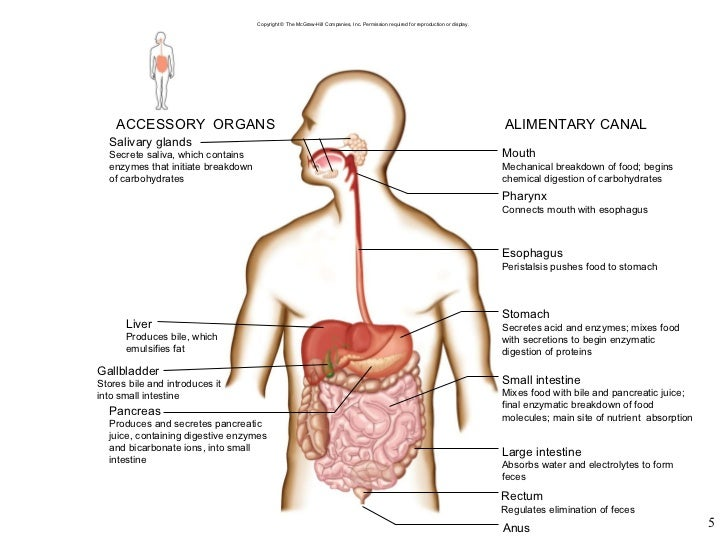 Chapter 17 Digestive System