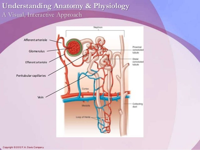 Chapter18 - Urinary System