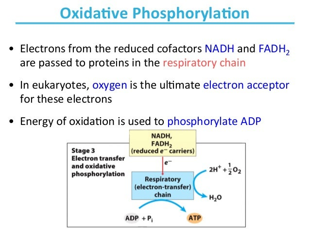 oxidative phosphorylation is an anabolic process