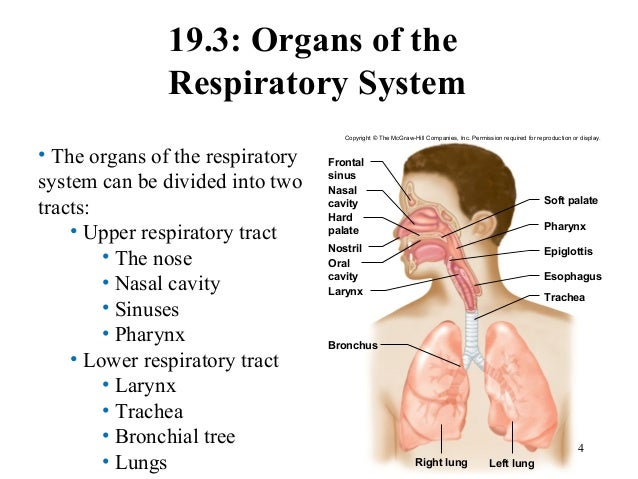 chapter 19 respiratory system