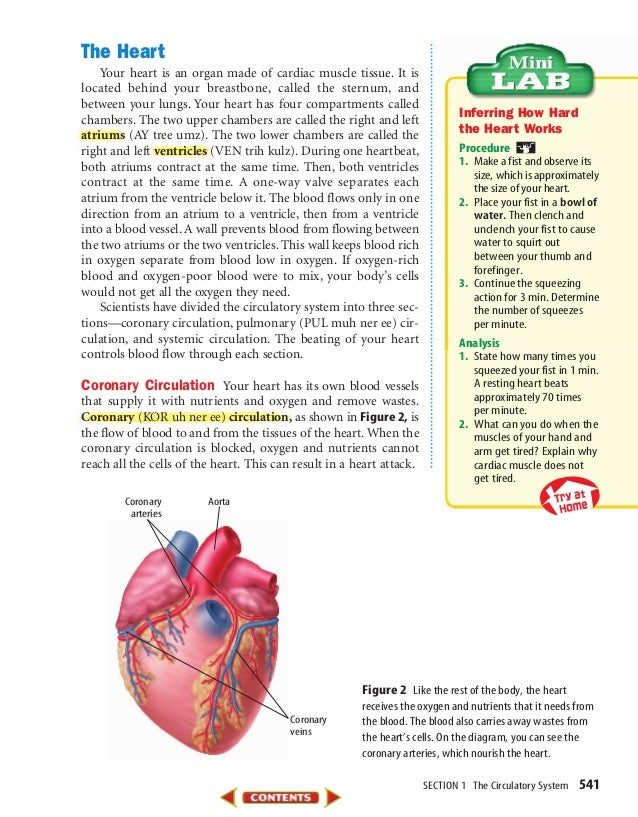 SECTION 1 The Circulatory System 541 The Heart Your heart is an organ made of cardiac muscle tissue. It is located behind ...