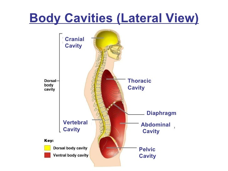 Chapter1b on what are the organs in body cavities