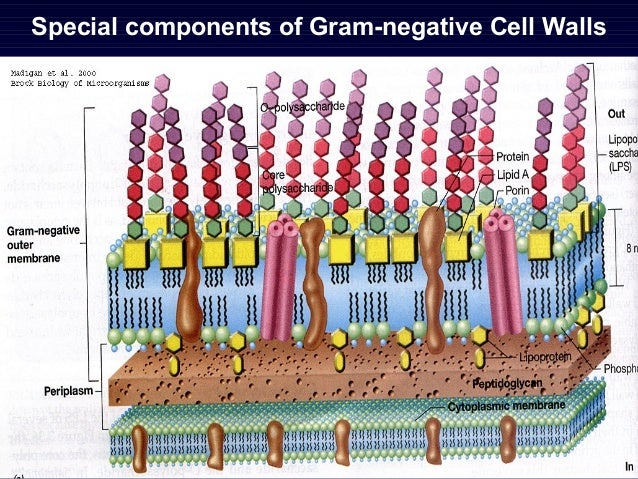 Chapter1 cell structure of bacteria special components of gram negative cell walls ccuart Image collections