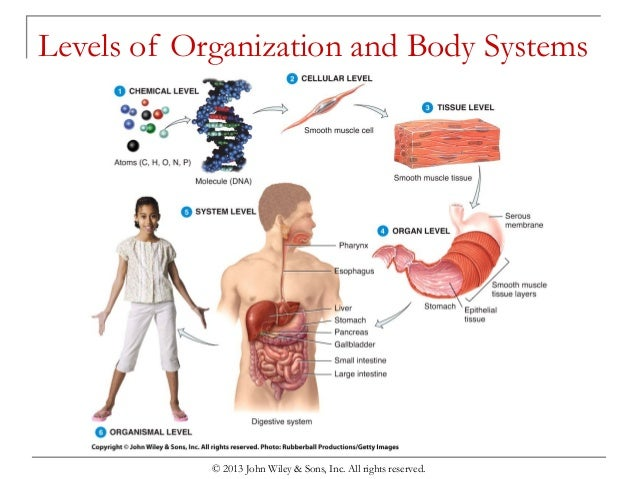 Chapter 1 Organization Of The Human Body