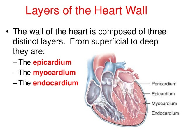 Image result for 3 layers of the heart