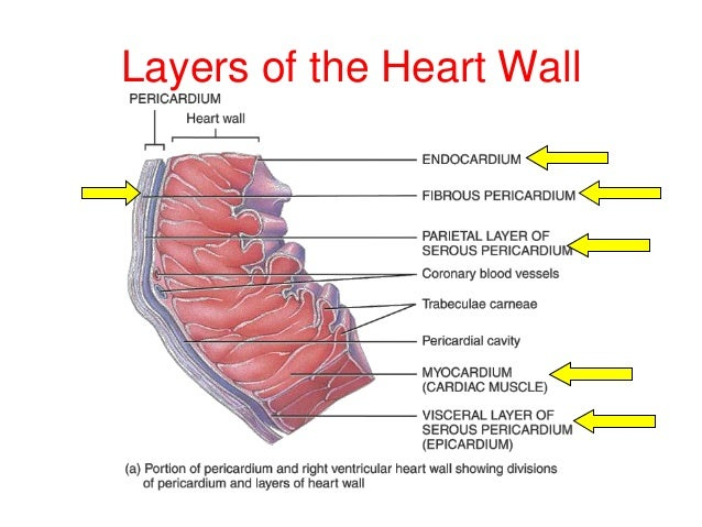 Walls of my heart gli stili del poterepdf myocardial rupture is a tear that occurs in the muscle layer of the heart wall ccuart Image collections