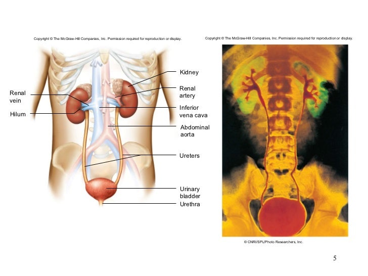 Chapter 20 Urinary System