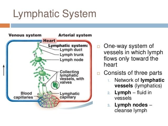 Lose 10 Pounds Fast THIS WEEK with Lymphatic system functions