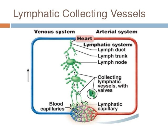 Chapter 20 Lymphatic System