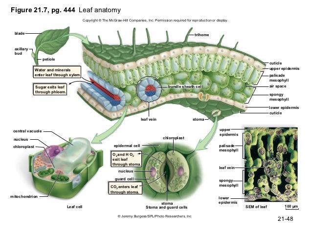 Venus flytrap anatomy