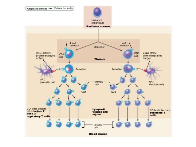 Chapter 21: The Immune System (#2)
