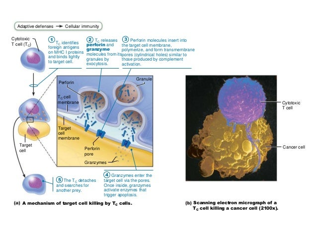immunity to parasites and apoptosis essay T cells (adaptive immunity 1) study  good for gi bacteria and parasites  which activates caspases and thereby triggers apoptosis.