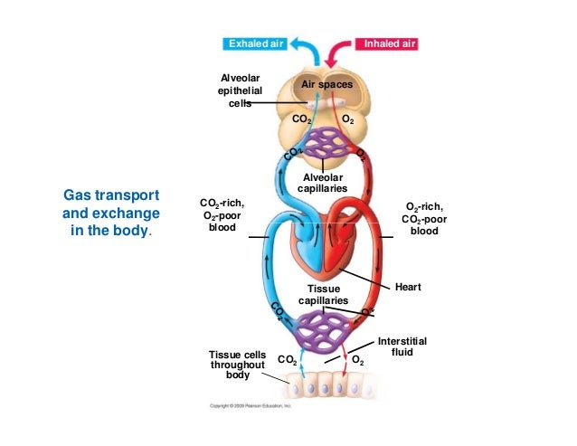 gas exchange in humans essay Respiratory system and the breathing process in humans easily explained what is the difference between respiration in the sense of gas exchange and cellular.