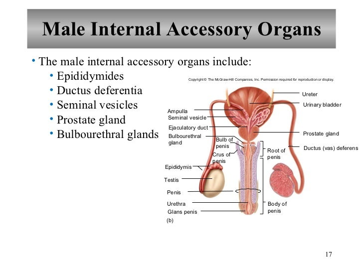 Chapter 22 Reproductive System
