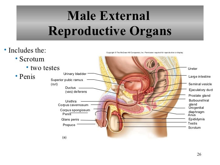 This organs diagram sex male share your opinion