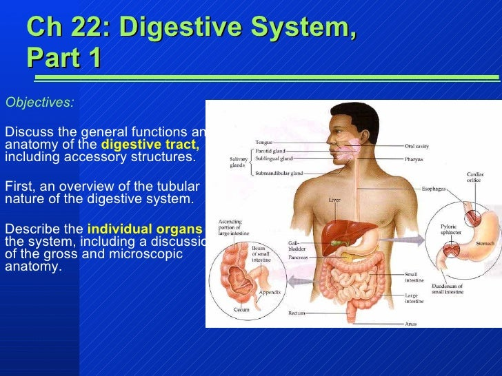 Ch 22: Digestive System, Part 1 Objectives: Discuss the general functions and anatomy of the  digestive tract,  including ...