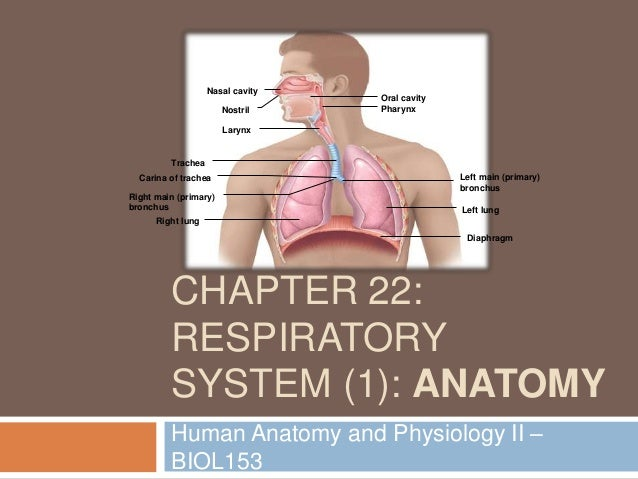 Chapter 22: Respiratory System (#1)