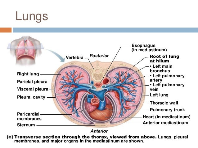 Intro Toanatomypowerpoint12276979250697128 also Chapter 22 Respiratory System 1 in addition 1 Funkcni Morfologie Dychaci Soustavy together with 2198291 as well 6943492. on visceral and parietal serous membranes