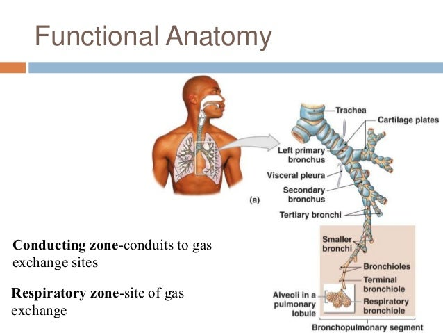 Chapter 22 Respiratory System 1