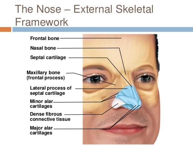 External nose anatomy