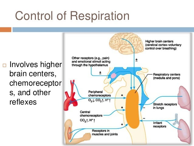 Chapter 22: Respiratory System (#4)