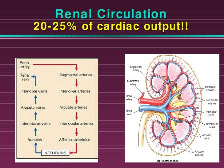 Chapter23 urinarymarieb renal circulation 20 25 of cardiac output ccuart Image collections